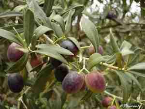 Les olives de l'olivier