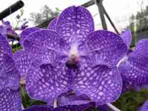 orchidee de thailande