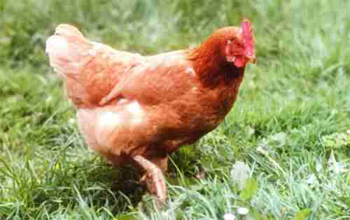 poule dans son jardin