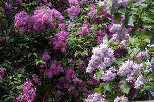 Lilas en fleurs, roses, violettes et blanches
