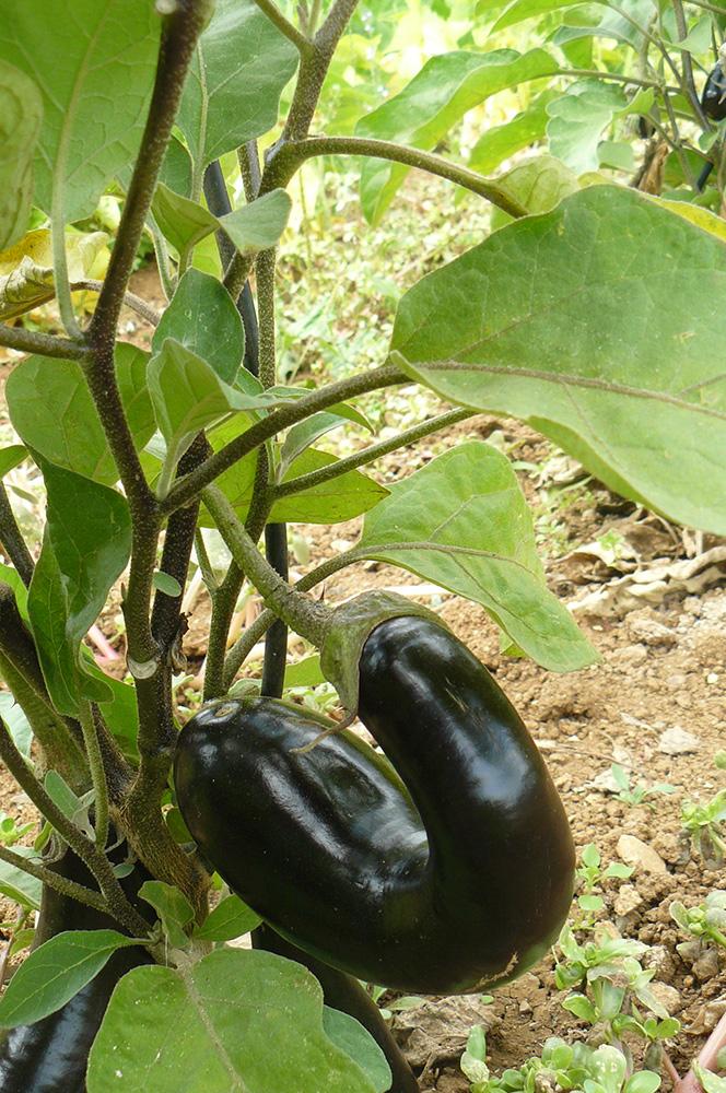 aubergine courbe dans le potager
