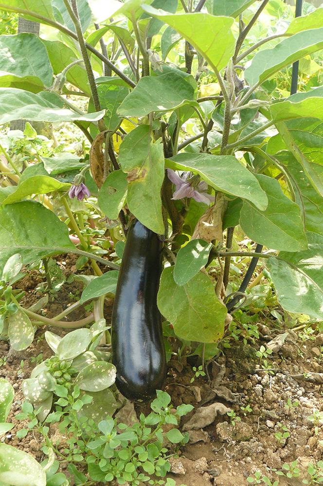 aubergine dans le potager