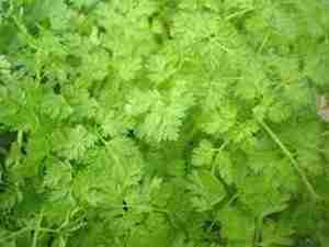 Cerfeuil, plante aromatique