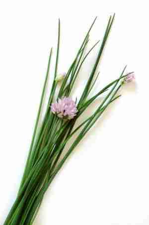 ciboulette, plante aromatique