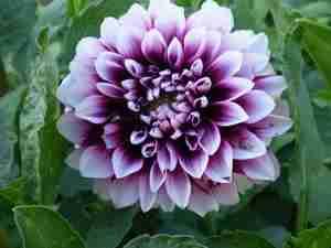 fleur de Dahlia cameo violet