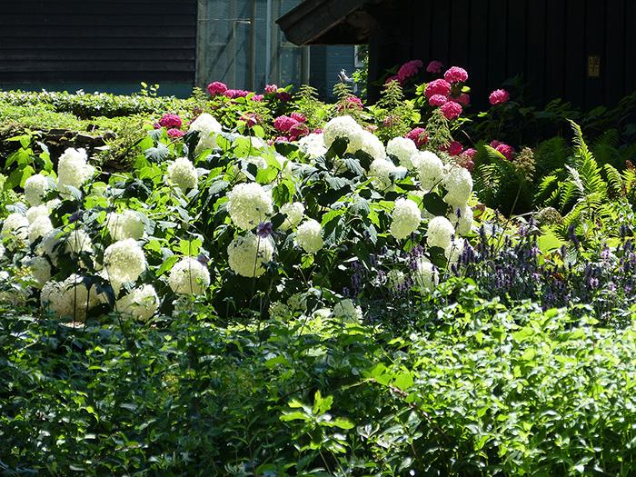 Superbe arbuste hortensia blanc