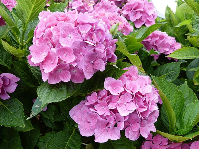 hortensia, arbuste à fleurs roses