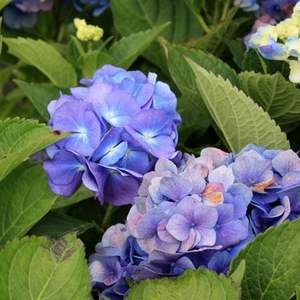 Hortensia bleue