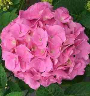 Fleur d'Hortensia rose