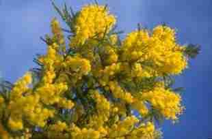 un joli mimosa fleuri