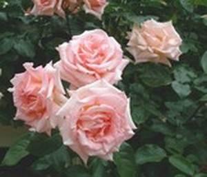 un magnifique rosier rose pale