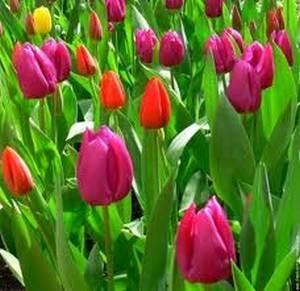 de jolies tulipes de toute les couleurs