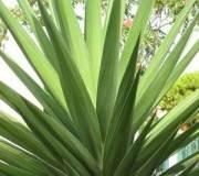 Yucca succulents