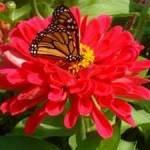 fleur de Zinnia avec papillon