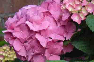 Fleurs d'Hortensias Roses, gros plan