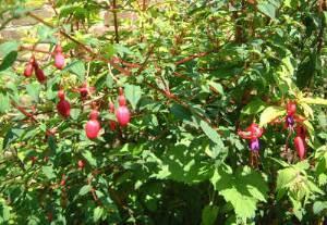 fuchsias roses du jardin