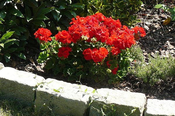 geranium pelargonium dans bosquet