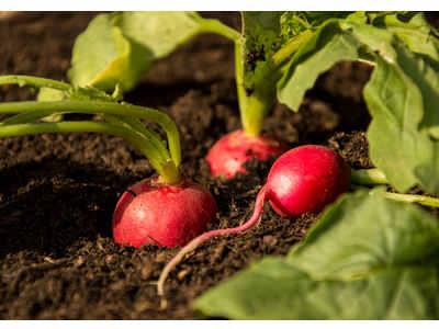 recolte des radis
