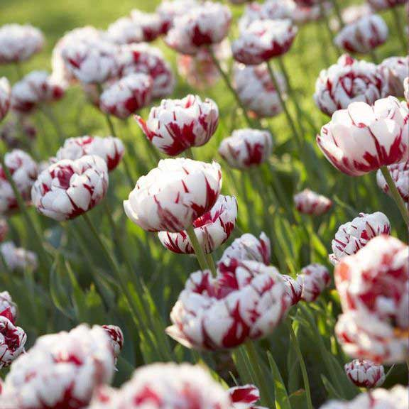 Tulipes carnaval de nice double tardive
