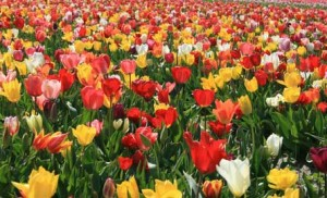 tulipes en melange