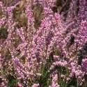 Bruyère en pot, violet