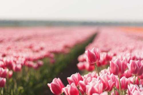 Champs de tulipes roses pales