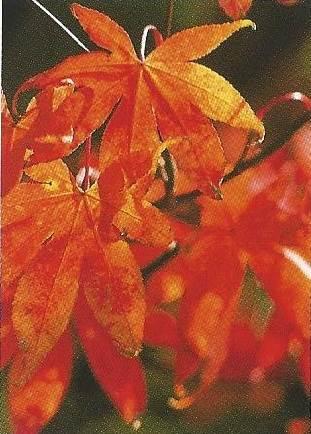 feuilles d'Erable japonais