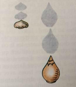 bulbes, dessin