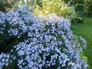 aster achillee millefeuille, bouquet de jolies fleurs blanches