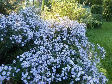 aster fleur