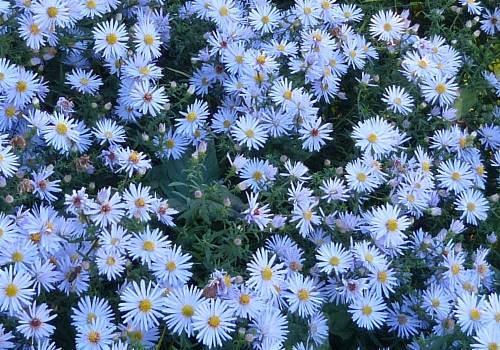 aster, bouquet de jolies fleurs blanches