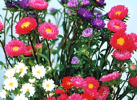 Aster - fleur roses, blanches et violettes