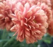 fleurs de Chrysanthèmes roses