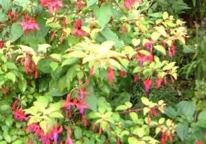 fuchsias fleurs en gros plan