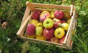 cagette de pomme pour recette gelee de pomme