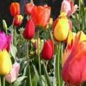 Tulipes - comment planter les tulipes et s'en occuper