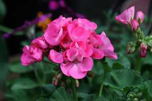 fleurs de Géranium rose