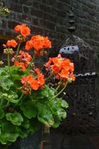 fleurs de Géranium rouge
