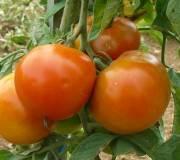grosses tomates, les différentes variétés