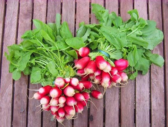 Semis et culture des radis d couvrez tout nos conseils ici - Quand cueillir les radis ...