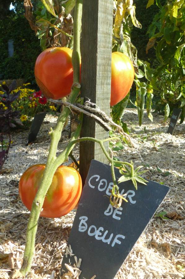 Les vari t s de tomates - Planter des tomates coeur de boeuf ...