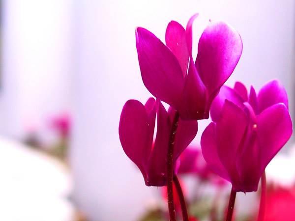 planter et entretenir des cyclamen