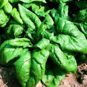 Epinard, comment les semer et les cultiver