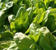 feuilles d'oseille, comment semer et entretenir son oseille