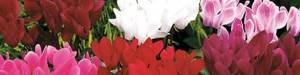 planter et entretenir des cyclamen persicum