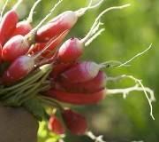 radis, comment semer et cultiver ses radis