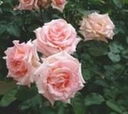 rosier rose pale