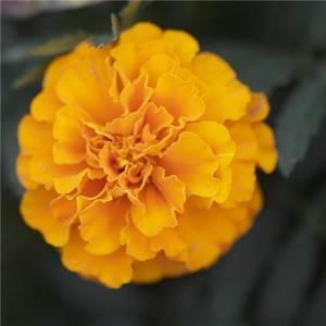 jolie fleur pour la sainte catherine