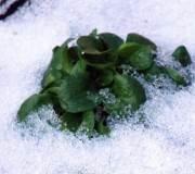 salades d'hiver, comment les cultiver