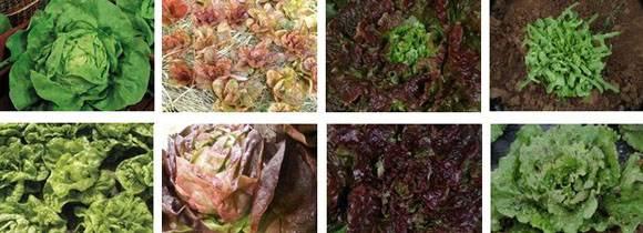 Salades au potager en hiver osez planter des salades en - Variete de salade d hiver ...
